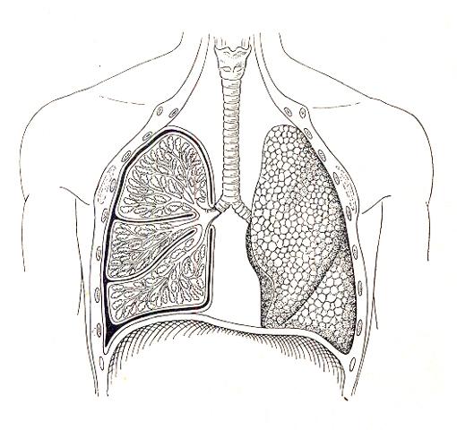 Arbeitsblatt Lunge Und Atemwege : Biologie chemie