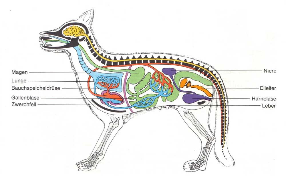 Ziemlich Anatomie Der Säugetiere Ideen - Anatomie Ideen - finotti.info